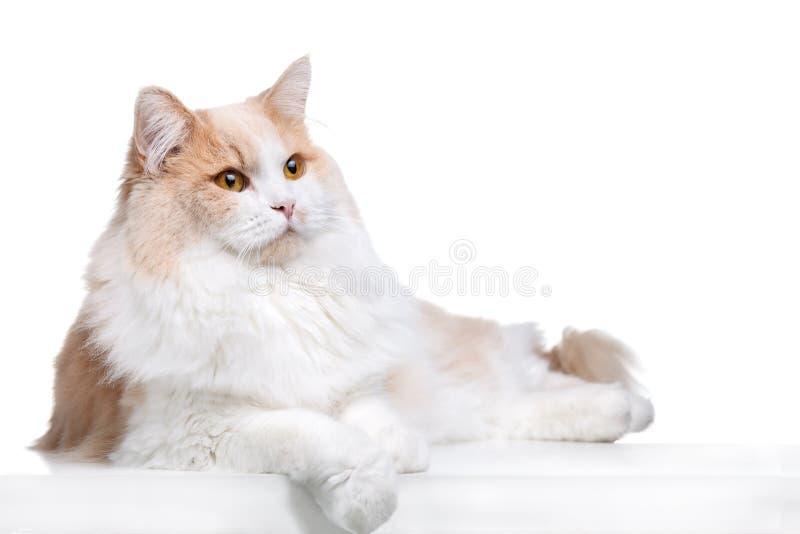 姜猫被隔绝在白色背景 免版税库存照片