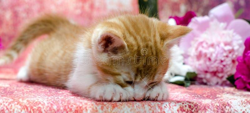 姜镶边小猫说谎口鼻部下来在一种五颜六色的织品在中 图库摄影