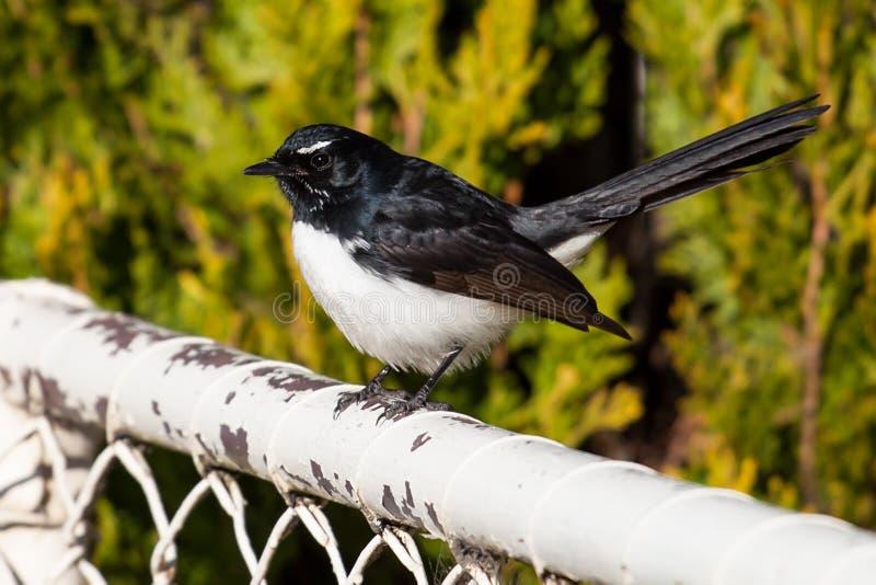 威利在白色篱芭的令科之鸟鸟 免版税库存照片
