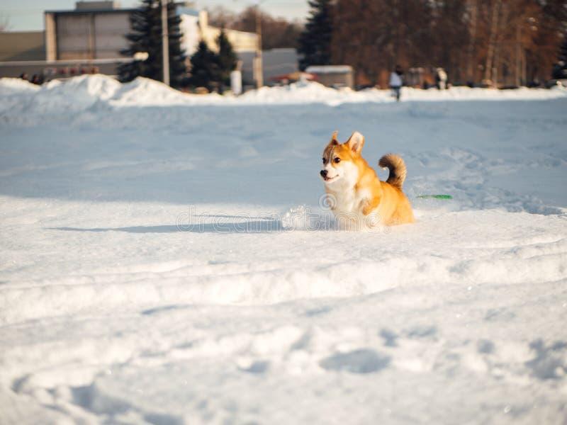 威尔士使用在冬天公园的小狗狗 免版税图库摄影