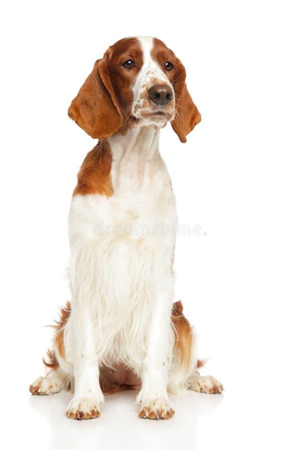 威尔士在白色背景的猎Z狗 库存图片