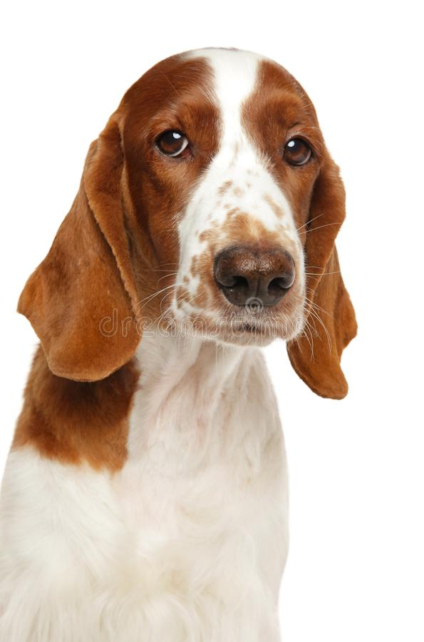 威尔士在白色背景的猎Z狗 库存照片