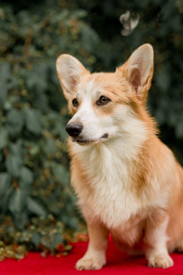威尔士在绿色草坪的小狗彭布罗克角画象  库存照片