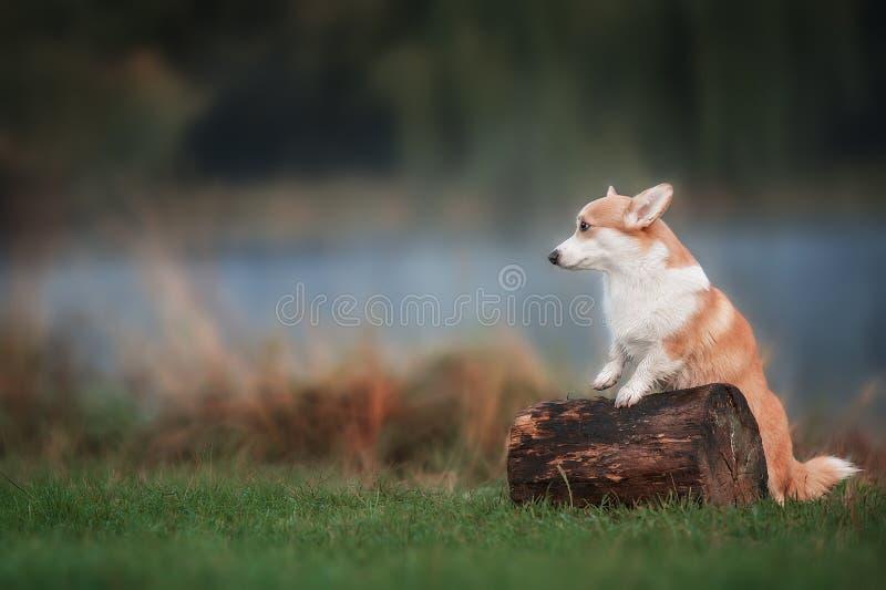 威尔士在草的小狗彭布罗克角在夏天晴天 免版税库存图片