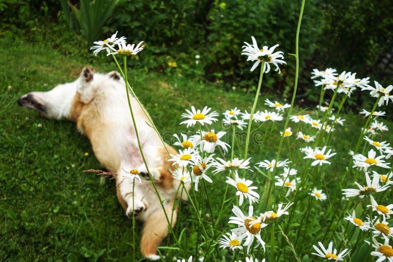 威尔士小狗在后台的彭布罗克角狗在好日子享有它的生活 免版税库存图片