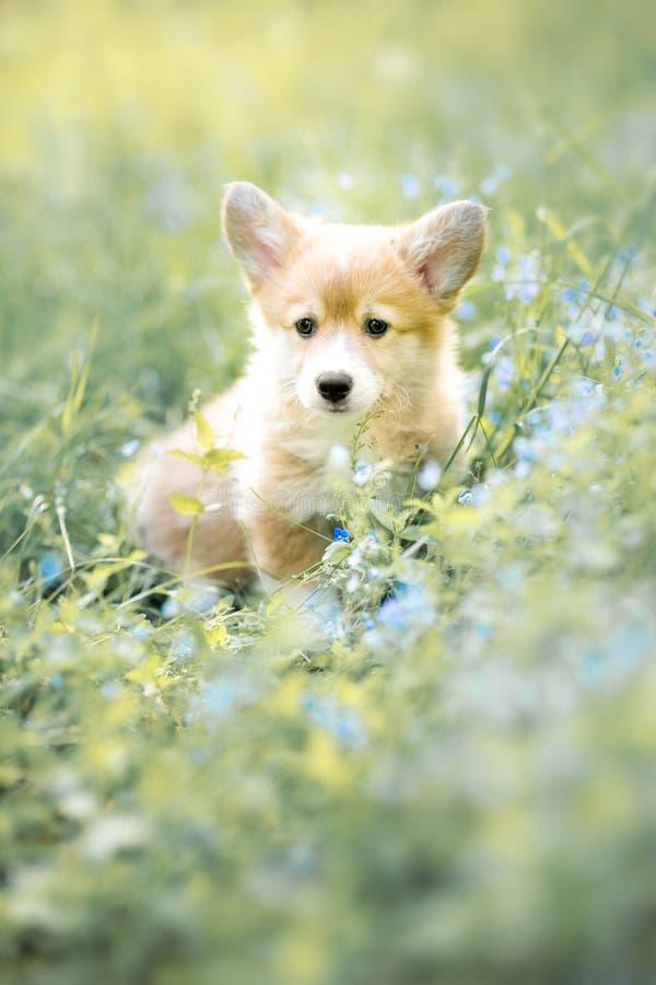 威尔士小狗在秋天或夏天花的彭布罗克角小狗 库存照片