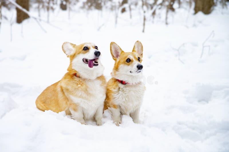 威尔士小狗彭布罗克角在冬天 免版税库存图片