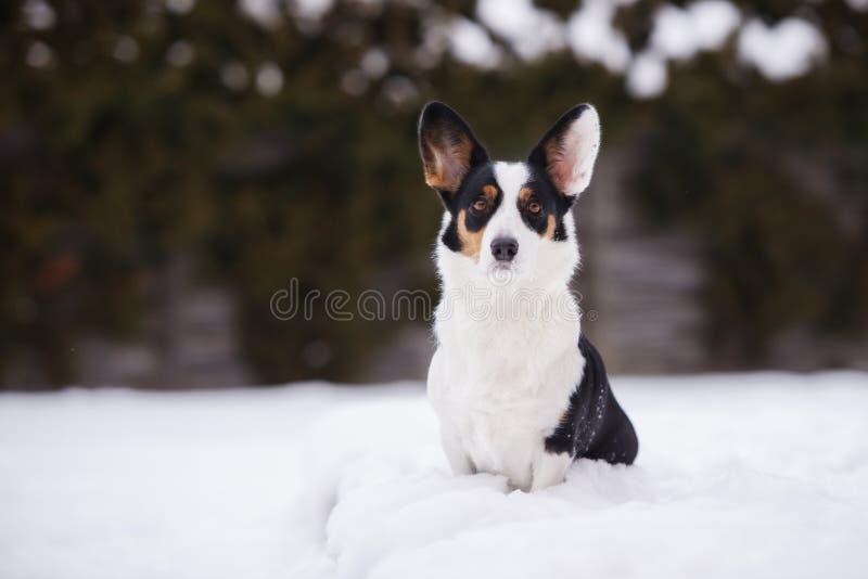 威尔士小狗户外羊毛衫狗在冬天 免版税图库摄影