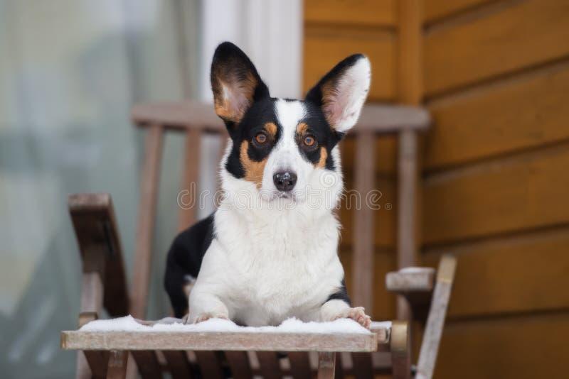 威尔士小狗户外羊毛衫狗在冬天 库存照片