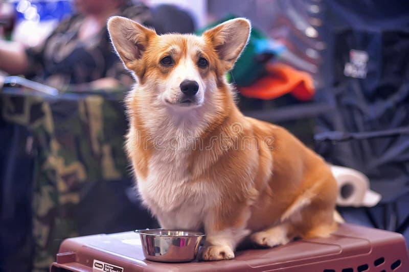 威尔士小狗 免版税库存图片