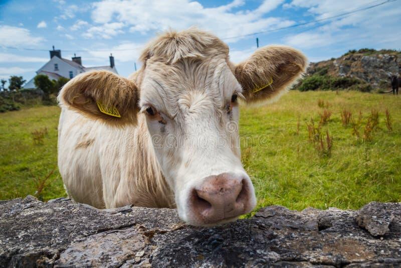 威尔士母牛特写镜头 免版税库存图片
