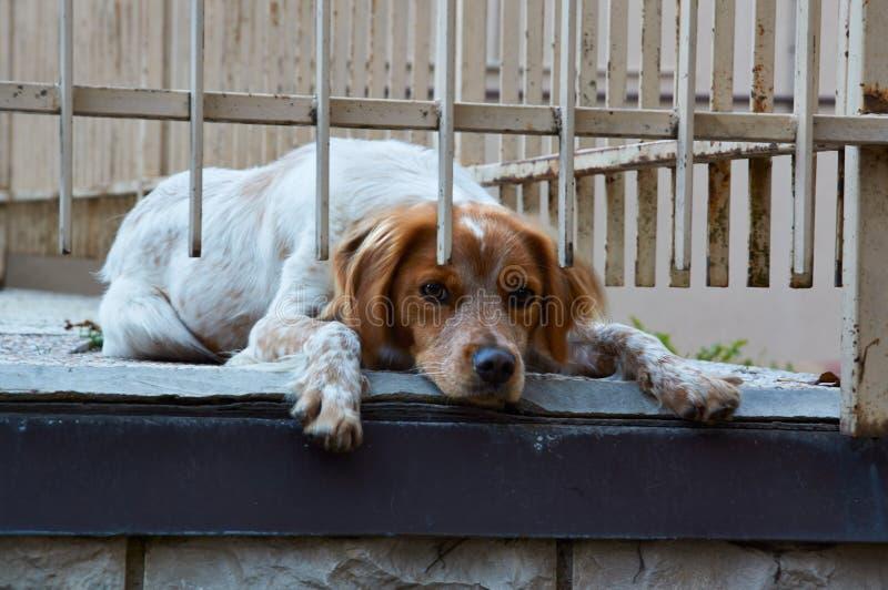 威尔士猎Z明亮的红色猎犬在地面上说谎 库存图片
