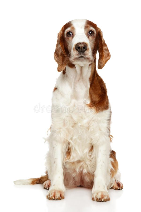 威尔士猎Z狗坐 免版税库存照片