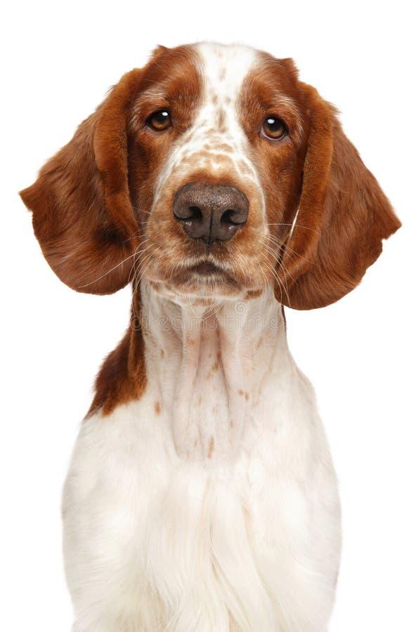威尔士猎Z狗,隔绝在白色 免版税库存照片