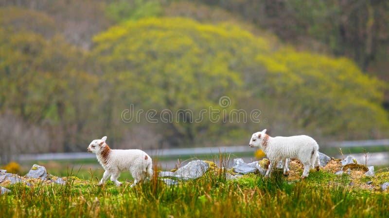 威尔士羊羔 图库摄影