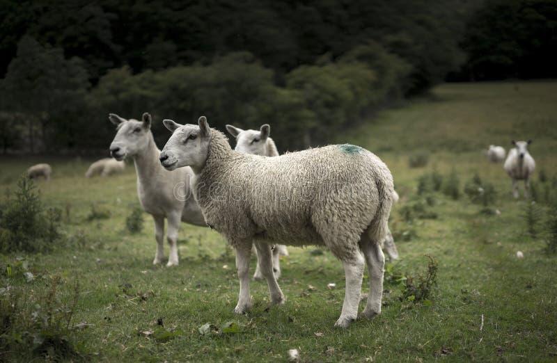 Download 威尔士绵羊 库存照片. 图片 包括有 乡下, 意味, 骡子, 停泊, 问题的, 羊毛, 羊羔, 敌意, 萨福克 - 62531548