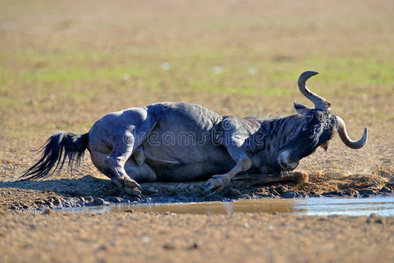 威尔德贝斯特之争 蓝野牛,毛毛壳,在草甸上,在非洲博茨瓦纳的自然栖息地,大动物 免版税图库摄影