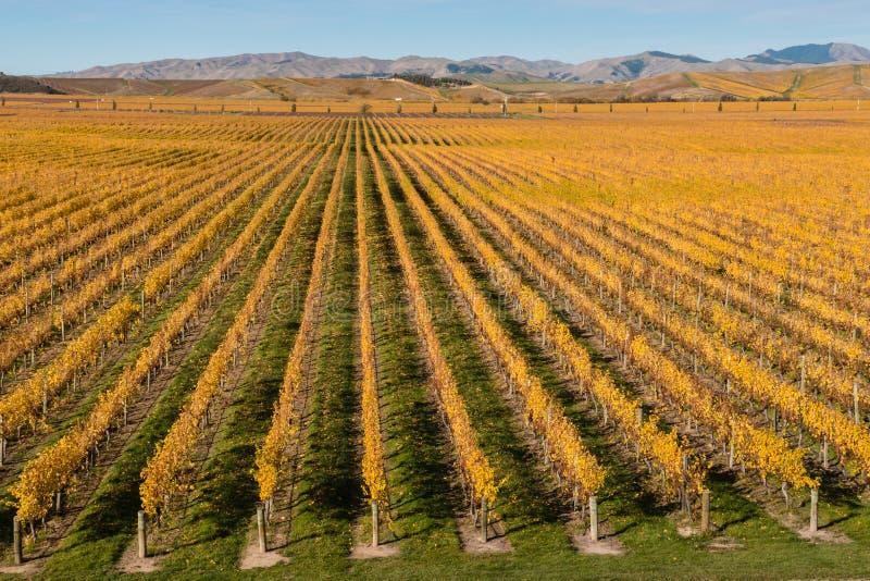 威瑟小山葡萄园在新西兰在秋天 库存图片