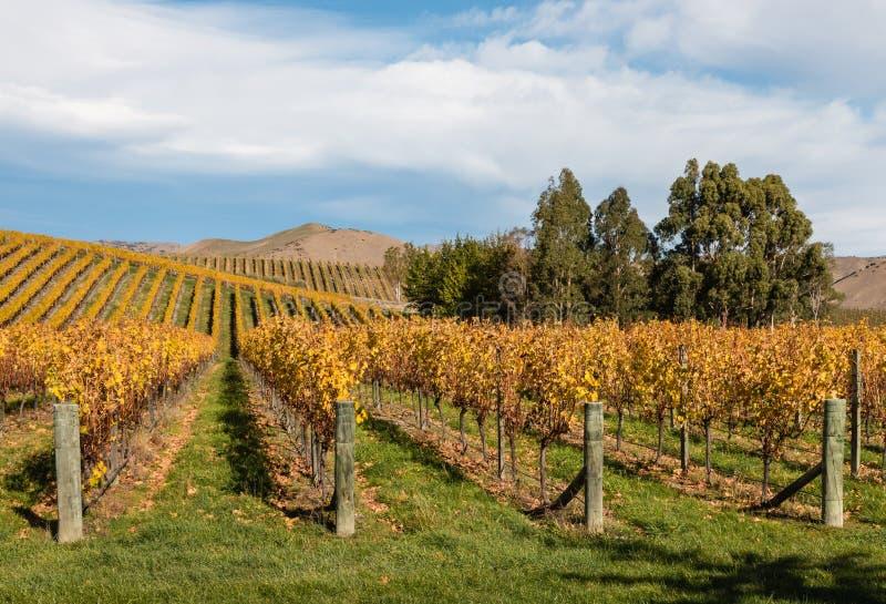 威瑟小山葡萄园在新西兰 库存图片
