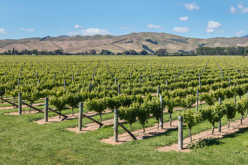 威瑟小山葡萄园在Marlborough地区,新西兰 免版税库存照片