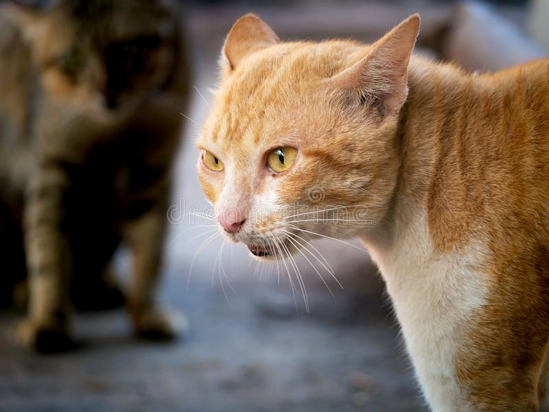 威胁侵略的猫的黄色猫 图库摄影