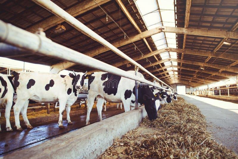 威胁农业的农厂概念,农业和牲畜-在奶牛场的一个谷仓使用干草母牛的牧群  免版税库存照片