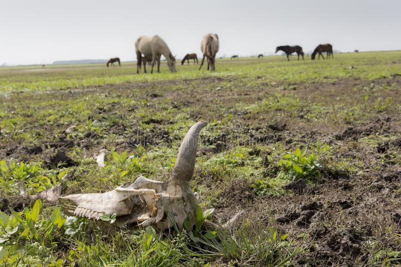 威胁在前景的头骨与马动物在草甸在backgrou 库存照片