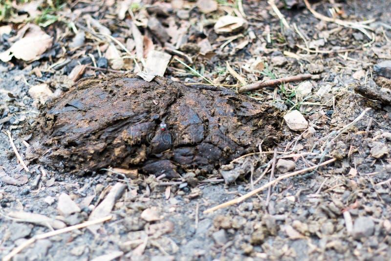威胁粪,母牛肥料说谎在地面上的,肥料动物粪 免版税库存照片