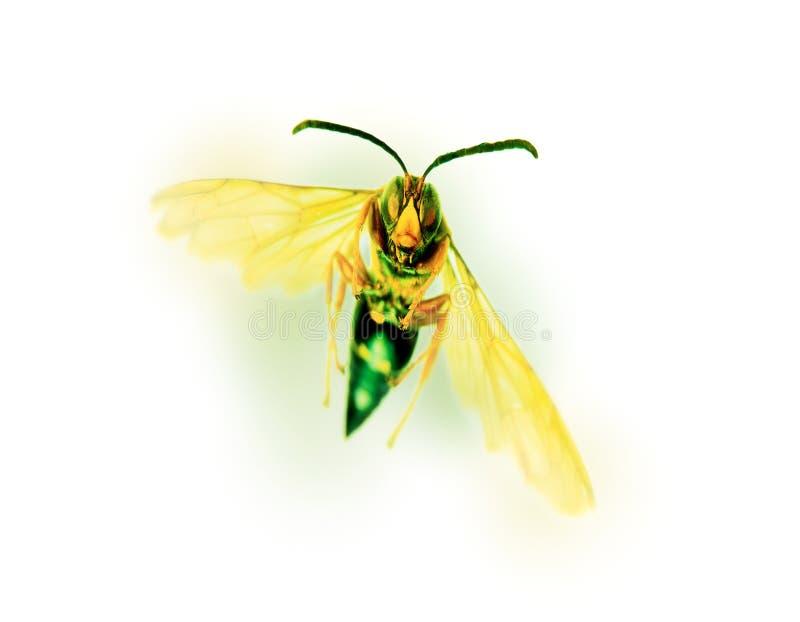威胁飞行的黄蜂蜇 r 库存图片