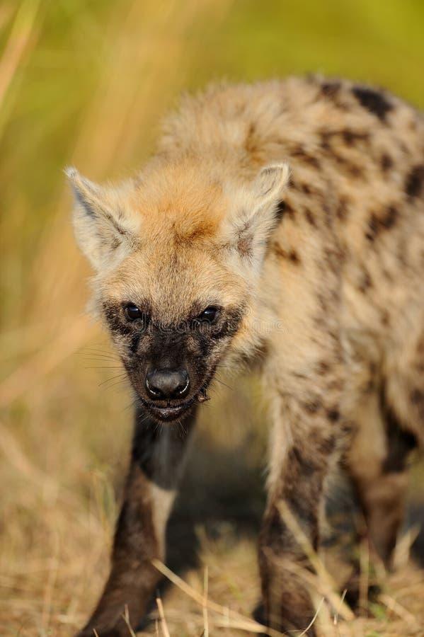 威逼的被察觉的鬣狗 库存图片