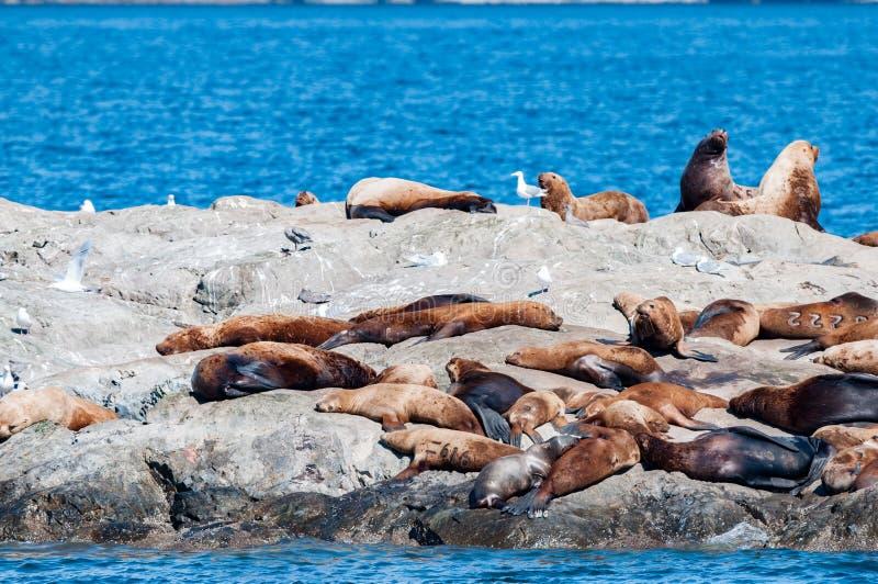 威廉王子湾阿拉斯加海狮 免版税库存照片