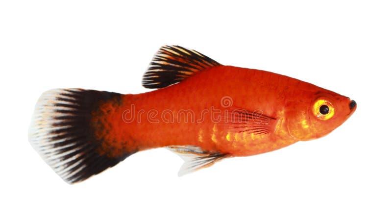 娘娘腔的男人鱼 免版税库存照片