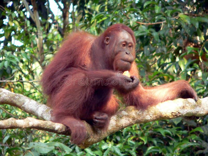 婆罗洲中央猩猩通配年轻人 免版税图库摄影