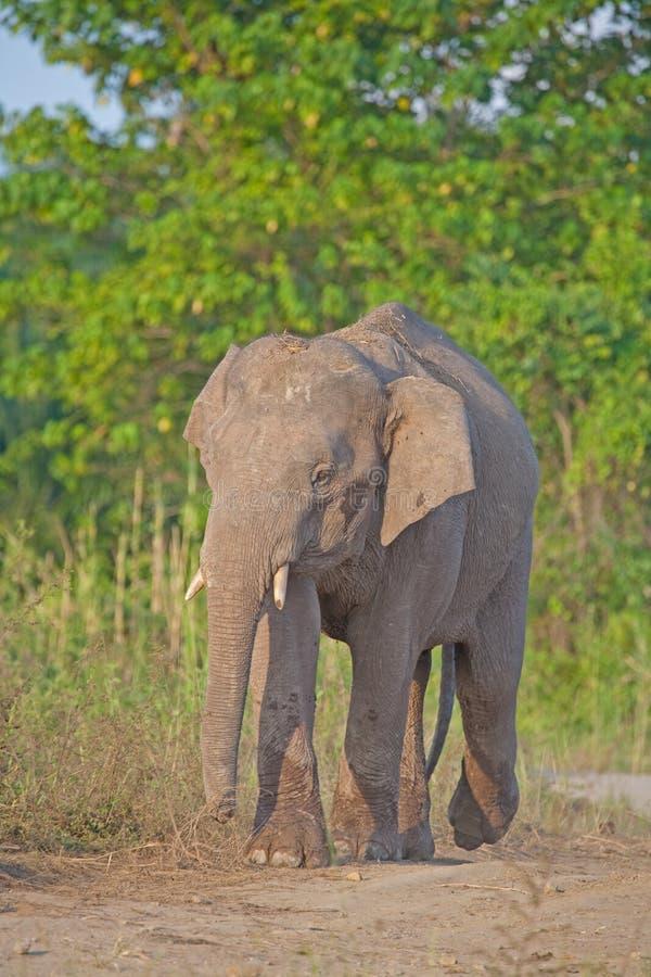 婆罗洲大象侏儒 库存照片