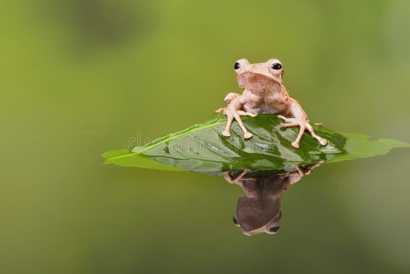 婆罗洲有耳的雨蛙在绿色水中 库存照片