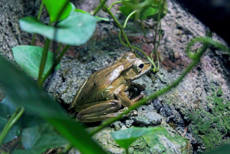 婆罗洲有耳的青蛙,多聚鸟足状的otilophus 免版税图库摄影