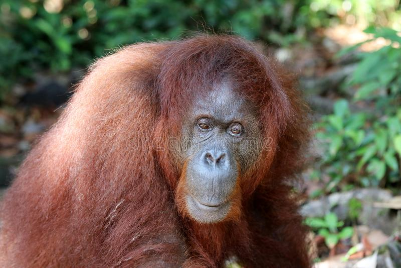 婆罗洲渔郎郡Utan类人猿pygmaeus - Semenggoh婆罗洲马来西亚亚洲 库存例证
