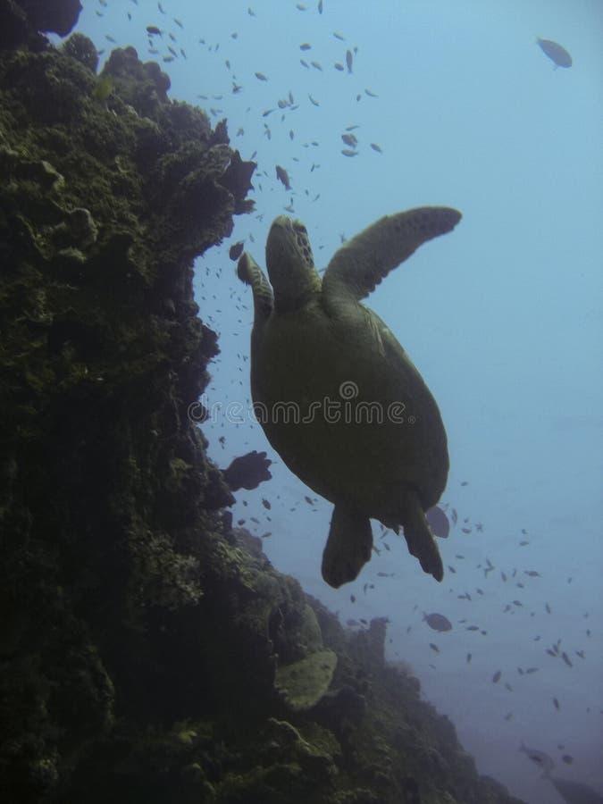 婆罗洲礁石sipadan乌龟 免版税库存照片