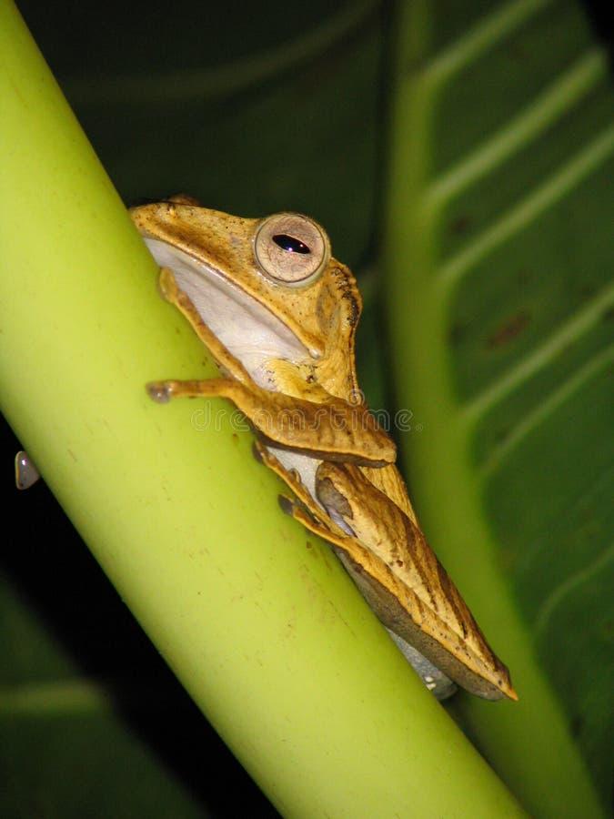 婆罗洲青蛙结构树 免版税库存图片