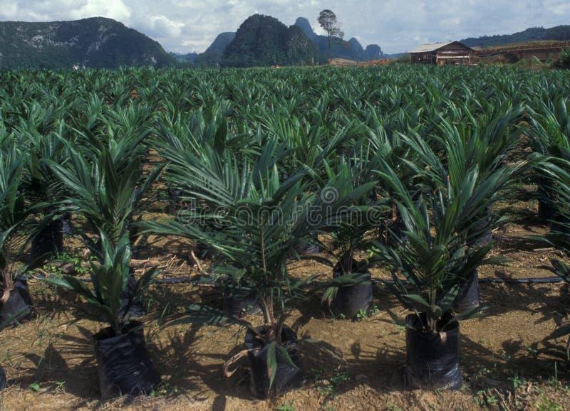 婆罗洲:Palmoil种植园到处,在其中前雨fo 图库摄影