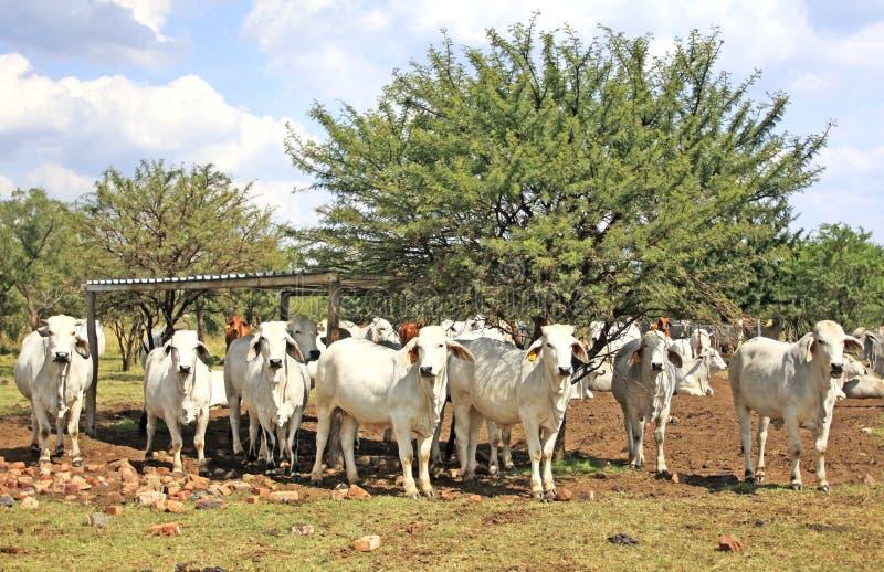 婆罗门母牛 免版税库存图片