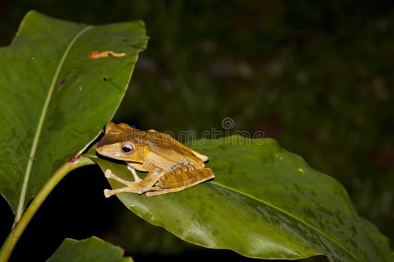 婆罗洲的文件有耳的雨蛙 免版税库存图片