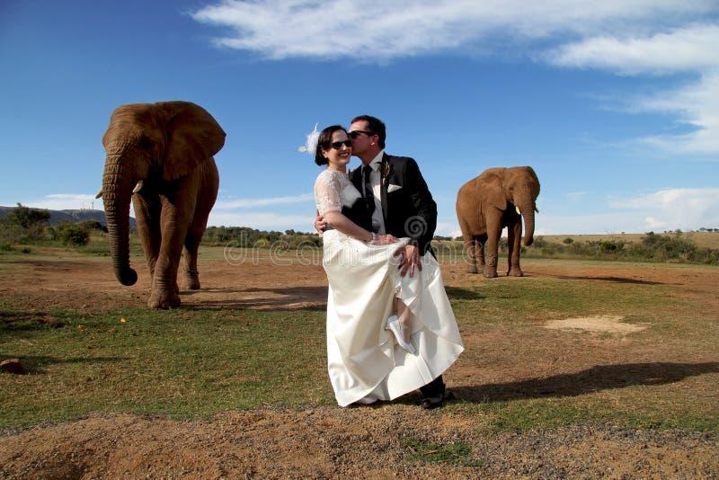 婚礼夫妇和非洲大象射击 免版税库存照片