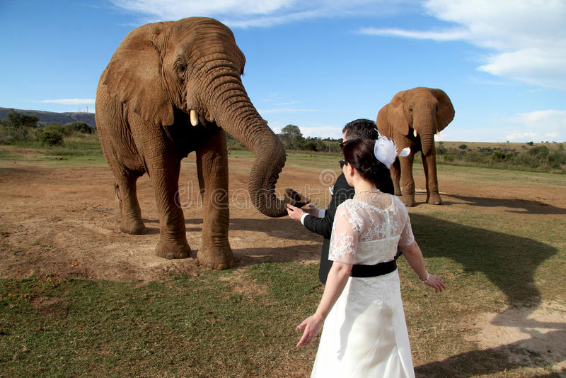 婚礼夫妇和非洲大象射击 免版税图库摄影