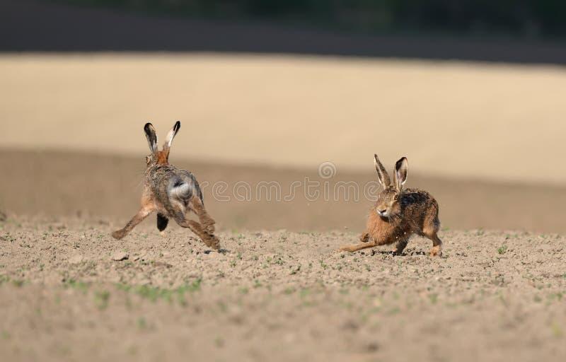 婚姻比赛 两个在被犁的fi附近的狂放的欧洲野兔奔跑 图库摄影