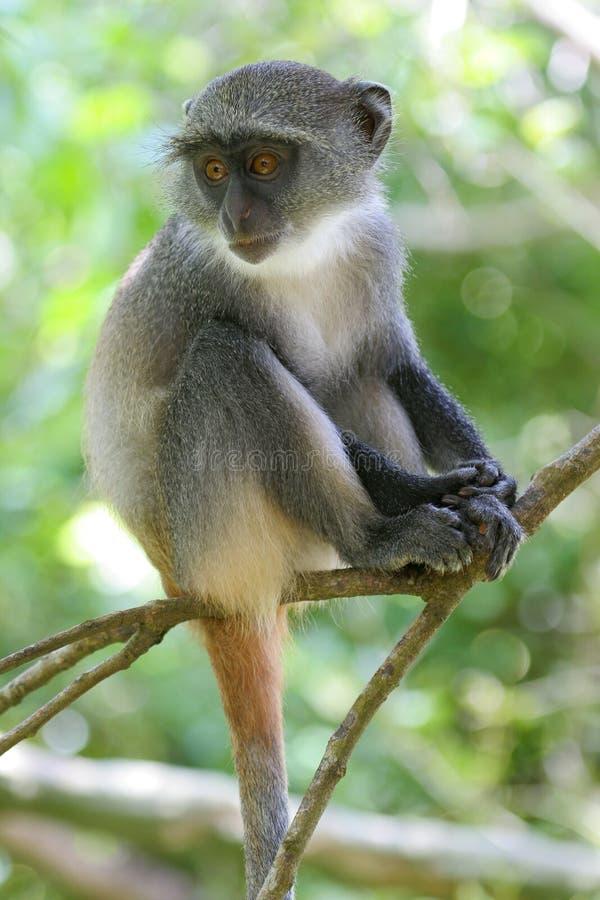 婴儿猴子 库存照片