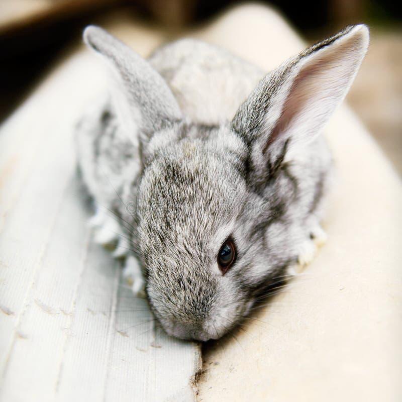 婴孩兔宝宝cudly逗人喜爱的宠物兔子 免版税库存照片