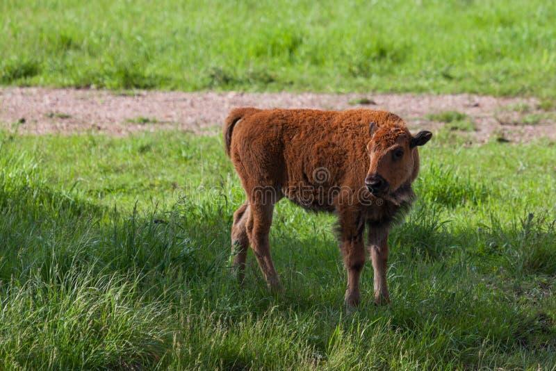 婴孩北美野牛 免版税库存图片