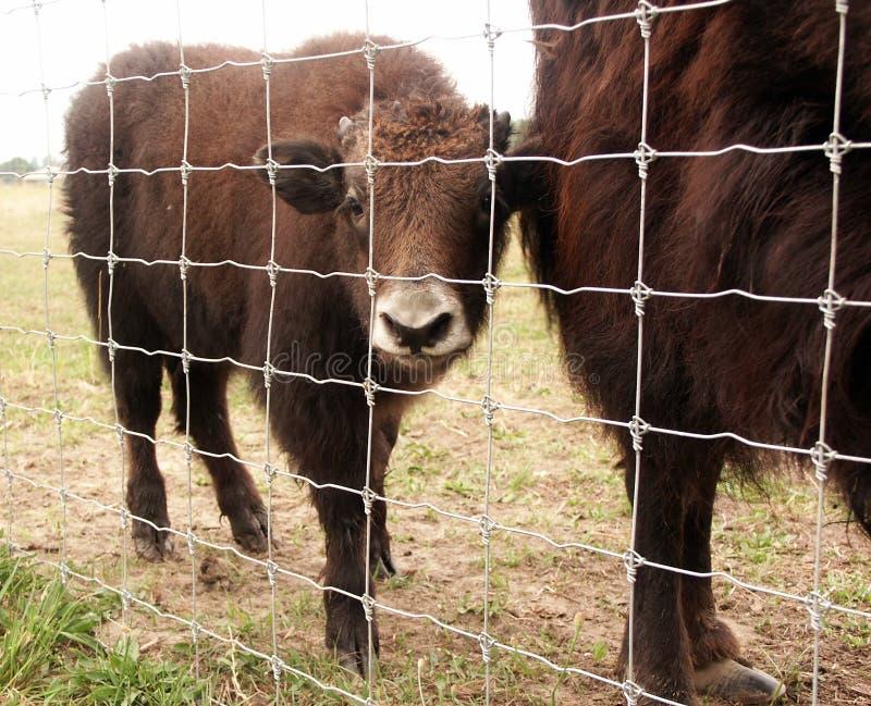 婴孩北美野牛 免版税库存照片