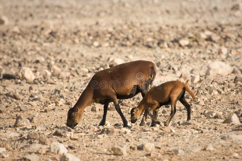 婴孩卡麦隆绵羊 免版税图库摄影